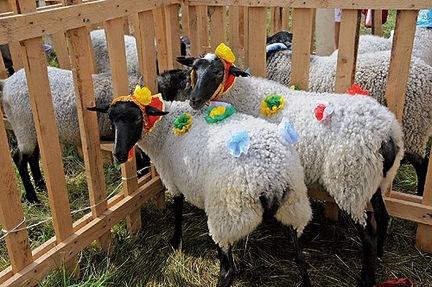 Фестиваль «Романовская овца –золотое руно России